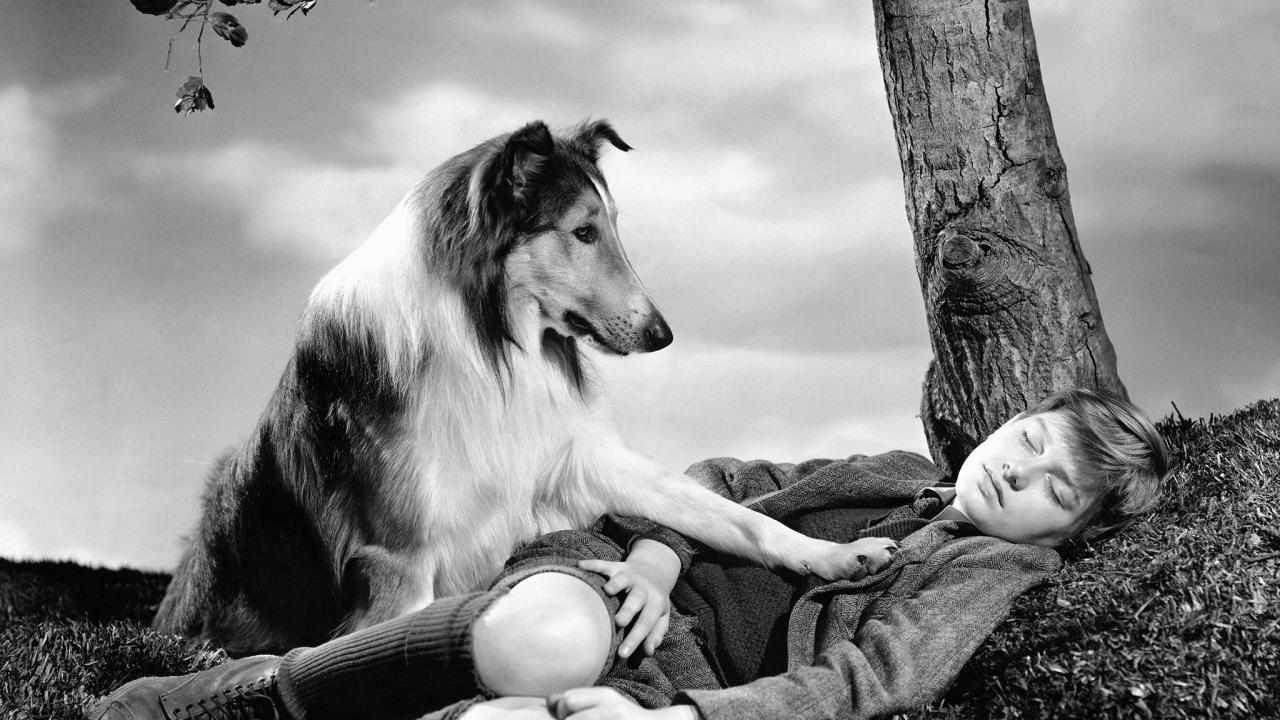 perritos-lassie